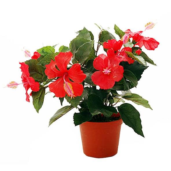 Китайская роза или гибискус из семян в домашних условиях: выращивание и уход