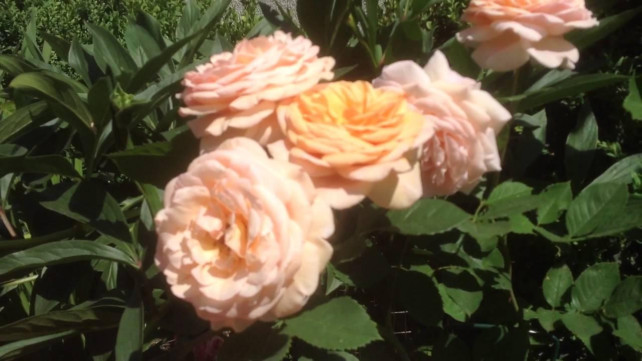 Полуплетистая роза чиппендейл: очарование и нежность в ярко-оранжевых тонах   топфазенда