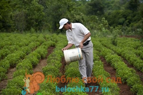Выращивание стевии