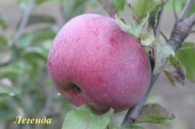 Яблоня «легенда»: описание сорта, фото и отзывы