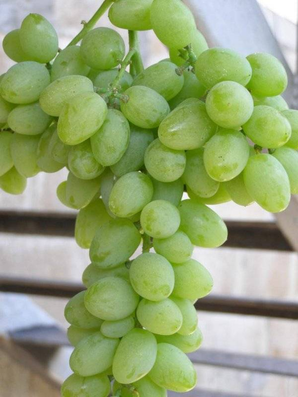 Сверхранний виноград «элегант»: описание и выращивание сорта