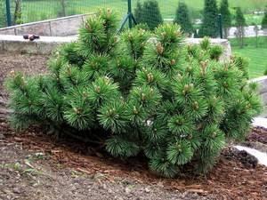 Сосна горная пумилио: описание растения, посадка и уход, использование в ландшафтном дизайне