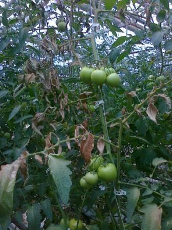 Почему не завязываются помидоры в теплице, что делать в таких случаях | спутниковые технологии