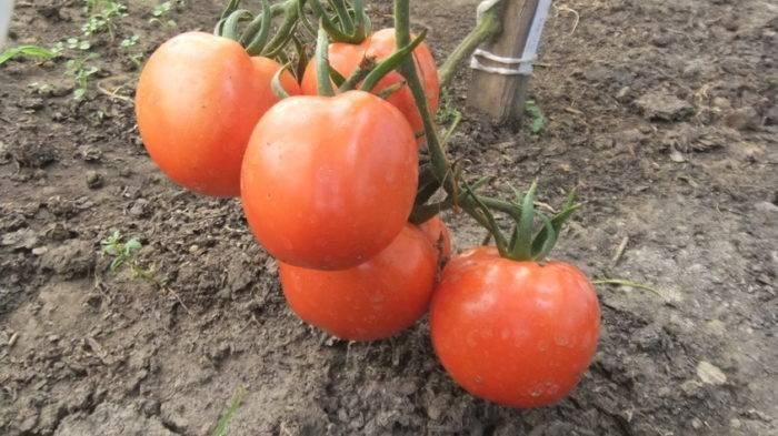 Томат гигант: характеристика и описание сорта, отзывы тех кто сажал и ухаживал за помидорами об их урожайности, фото семян аэлита