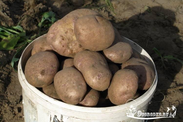 Сорт картофеля синеглазка: характеристика и описание, отзывы, фото