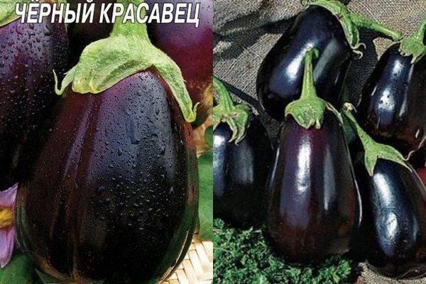 Баклажан черный красавец: характеристика и описание сорта, правила выращивания, отзывы, фото, урожайность