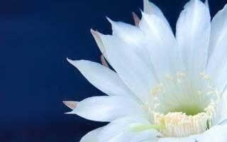 Синий фаленопсис: бывает ли в природе, чем красят, как выглядит на фото и отзывы об окрашенных орхидеях