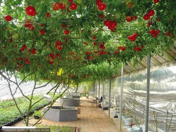 Помидорное дерево: как вырастить, фото