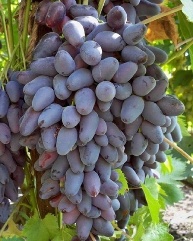 Виноград красохиной с. и.: селекция, описание сорта, посадка и уход, достоинства, отзывы