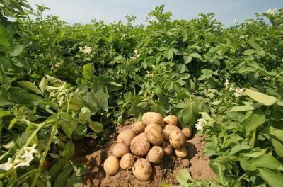 Описание сорта картофеля Каратоп — как поднять урожайность