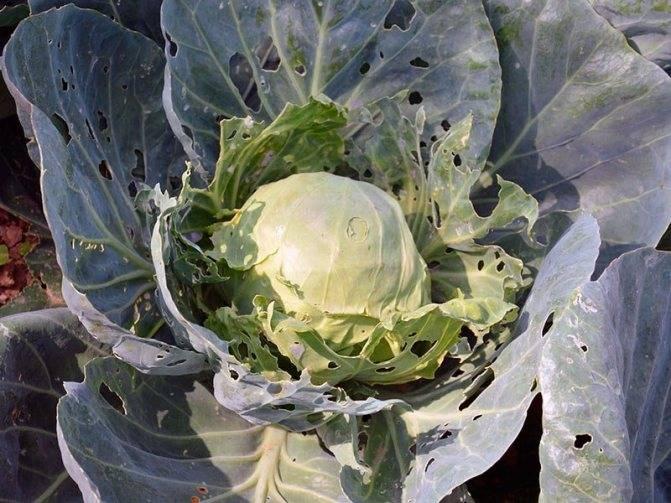 Лучшие народные средства для обработки капусты от вредителей