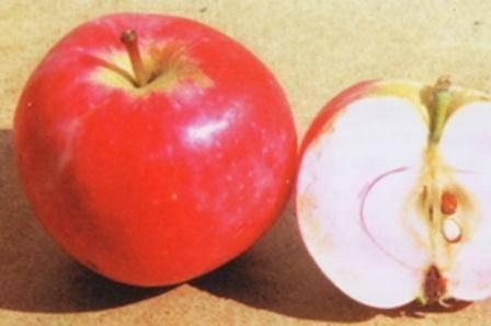 """Яблоня """"солнцедар"""": описание сорта, фото, отзывы"""