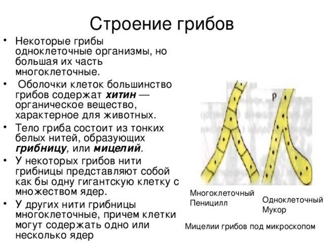 Гриб мукор — строение, особенности размножения и питания