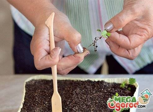 Выращивание клубники у себя дома пошаговая инструкция с фотографиями