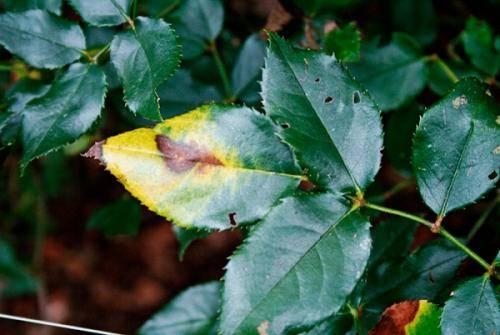 Почему у домашней розы желтеют и опадают листья: что делать, чем подкормить и обработать