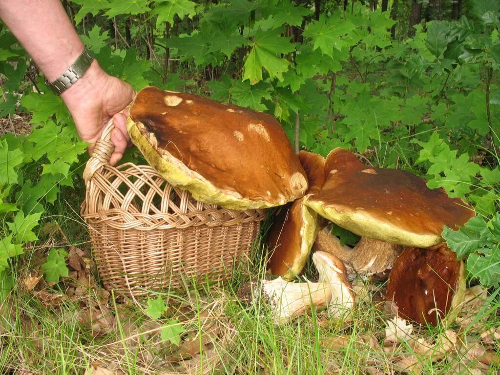 Выращивание грибов в домашних условиях – инструкция для новичков: описание на примере вешенок, шампиньонов, мицелия. тонкости данного бизнеса (фото & видео) +отзывы