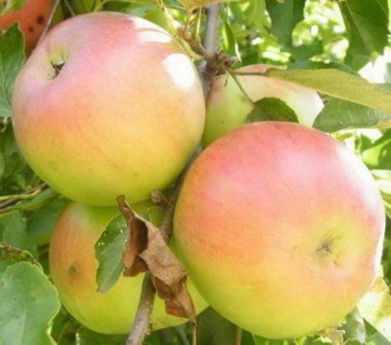 Яблоня имрус: фото и описание сорта, отзывы садоводов