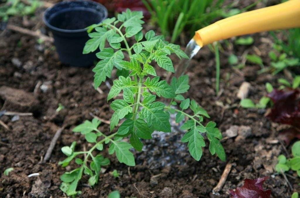 Применение нашатырного спирта для помидоров в огороде и теплице