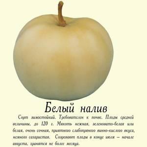 Яблоня белый налив: описание сорта с фото. полезные свойства и достоинства