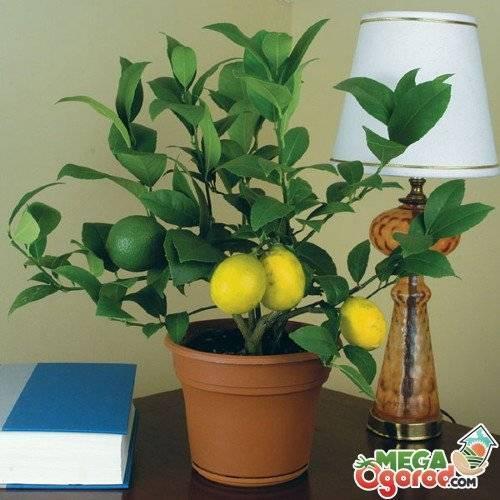 Как привить лимон в домашних условиях чтобы он плодоносил: видео и фото инструкции по уходу за лимонным деревом и секреты повышения урожайности