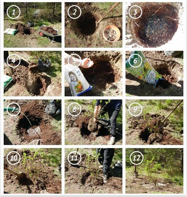Как посадить яблоню весной: пошаговое руководство для начинающих