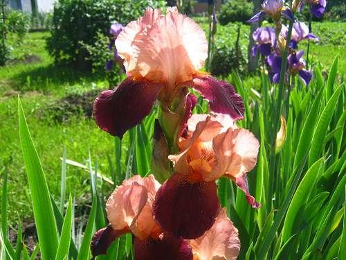 Посадка ирисов весной в открытый грунт: как правильно посадить? когда лучше сажать? на какую глубину сажать корневища на даче?