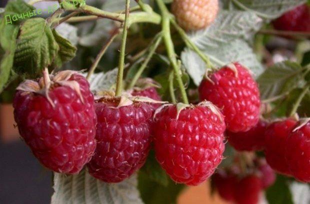 Малина новость кузьмина: отзывы, описание сорта, урожайность с одного куста + фото