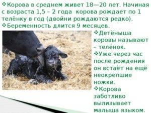 Сколько месяцев длится беременность? как в домашних условиях определить по молоку, что корова ходит стельная? признаки стельности — беременность