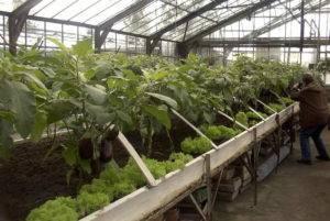 Как поливать рассаду баклажан: требования к воде, как часто это делать, полив после посадки, пикировки и пересадки в теплицу русский фермер
