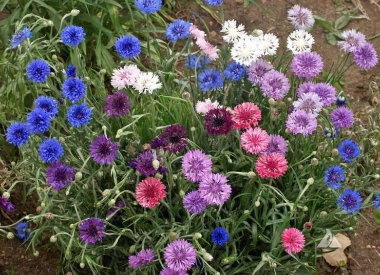 Выращивание василька из семян: посадка и уход за рассадой в домашних условиях