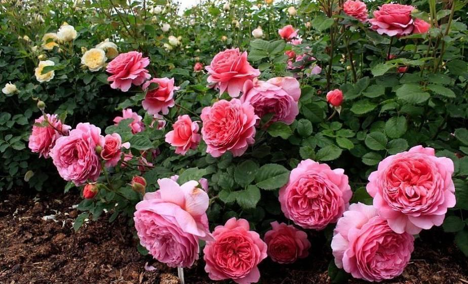 Лучшие подкормки для роз в августе и сентябре