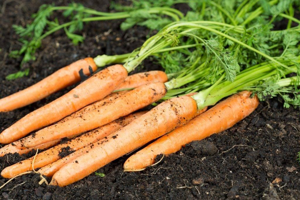 Морковь «самсон»: описание, посадка и уход