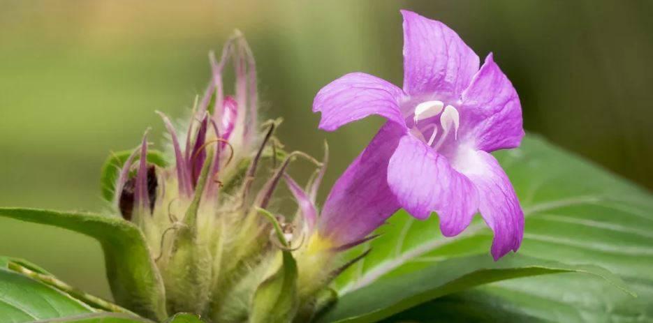 Руэллия: уход в домашних условиях, выращивание из семян, фото