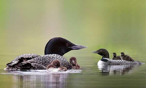 Птица чернозобая гагара: [фото, описание и характеристики]