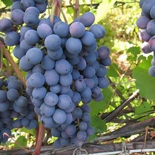 Виноград московский белый: описание сорта, посадка, уход
