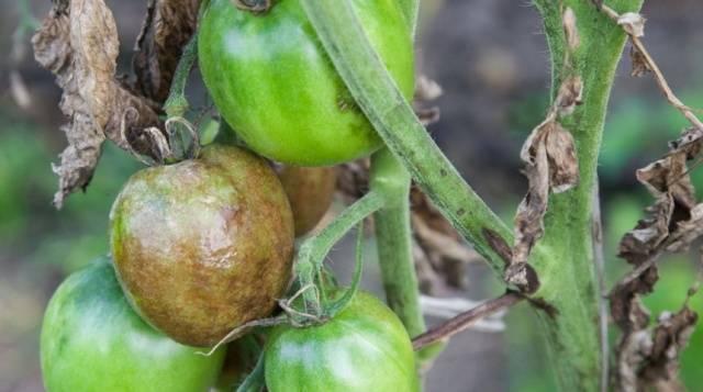 Народные средства от фитофторы помидоров: лучшие рецепты, правила проведения обработки, полезные советы