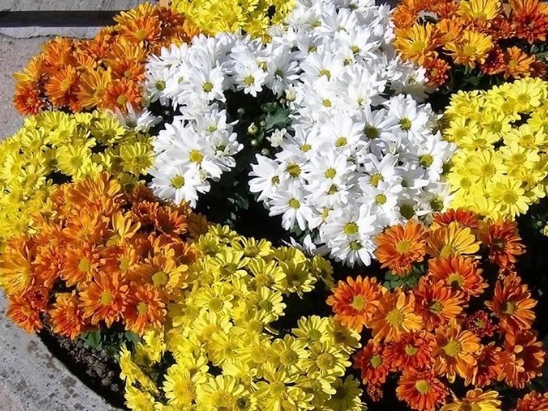 Хризантема «бакарди» (26 фото): описание сорта кустовой хризантемы, белые и желтые разновидности bacardi, посадка и уход