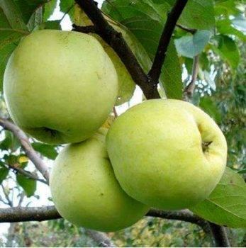 Лучшие сорта яблонь: зимних, летних, осенних, с крупными и мелкими плодами