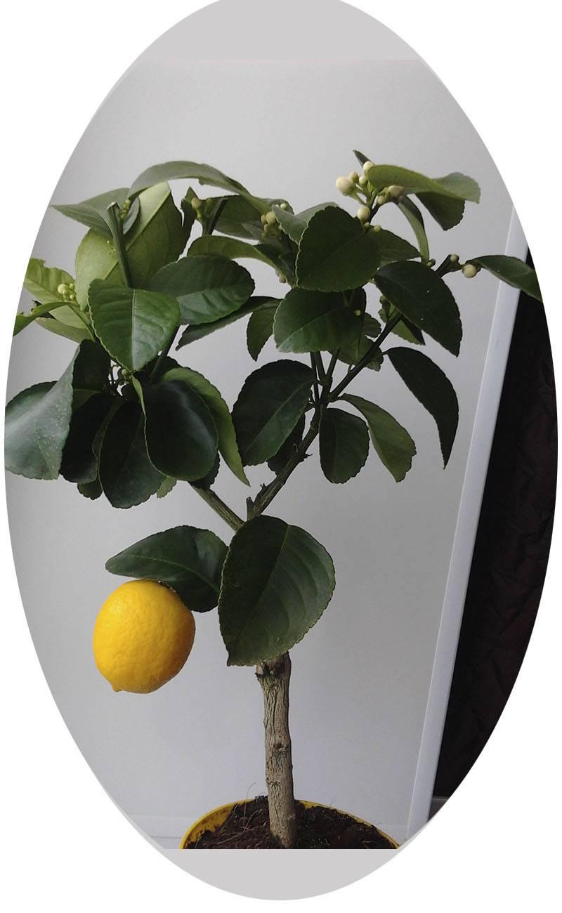 Павловский лимон — уход в домашних условиях, описание сорта (фото) и история, болезни и обрезка комнатного лимона