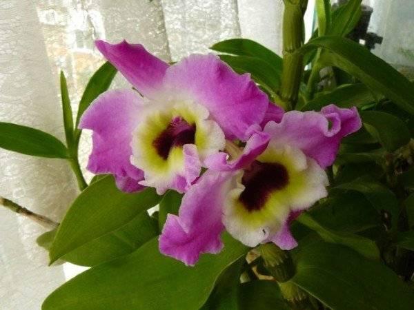 Орхидея дендробиум нобиле: особенности ухода, пересадки и размножения