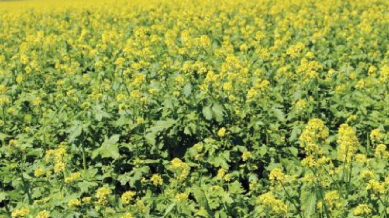 Лучшие сидераты для посева осенью — после уборки урожая, либо весной и летом — до посадки основных культур