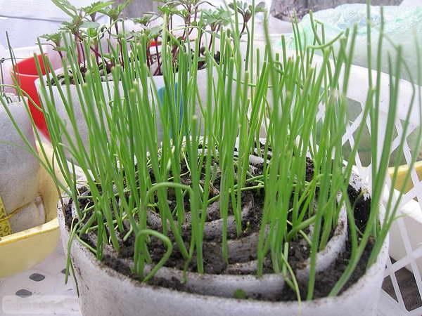 Выращивание лука чернушки: выбираем лучшее время для посева на рассаду