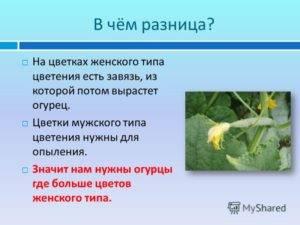 Цветение огурца: женский и мужской тип