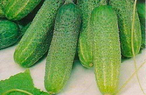 Огурец адам f1: описание сорта, фото, отзывы и урожайность