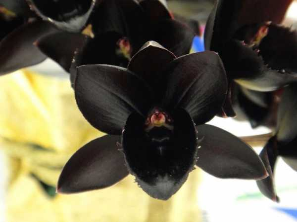 Сорта орхидей для домашнего выращивания