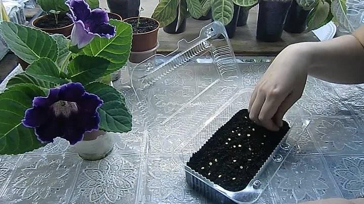 Замачивание семян перца перед посадкой, когда и как замачивать?
