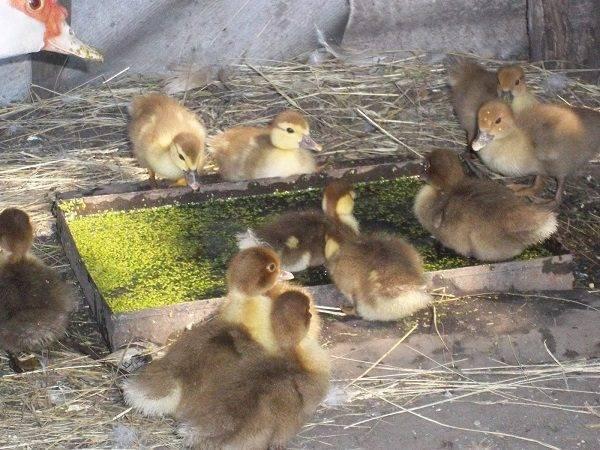 Утята (37 фото): чем кормить маленьких желтых птенцов? какие нужны поилки? каких размеров должен быть брудер? как сделать по чертежам?