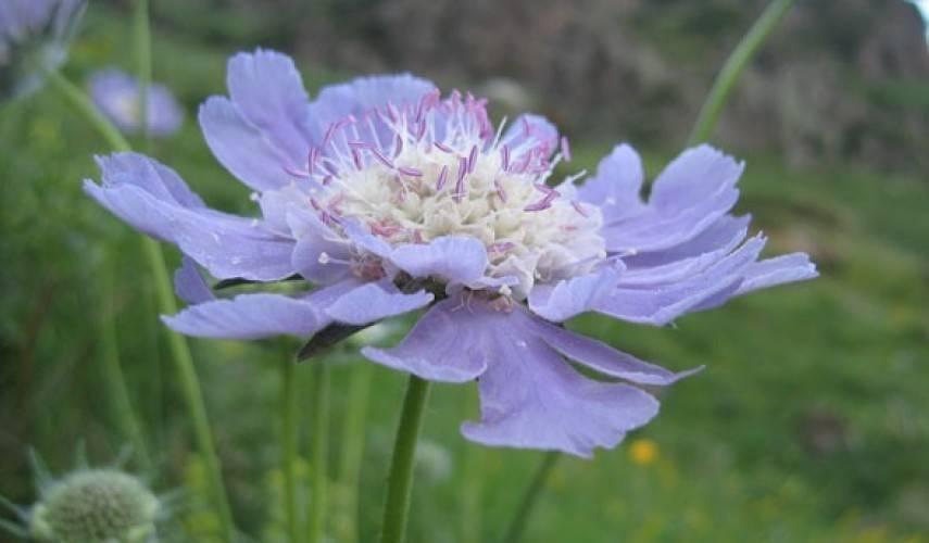 Скабиоза: как вырастить из семян