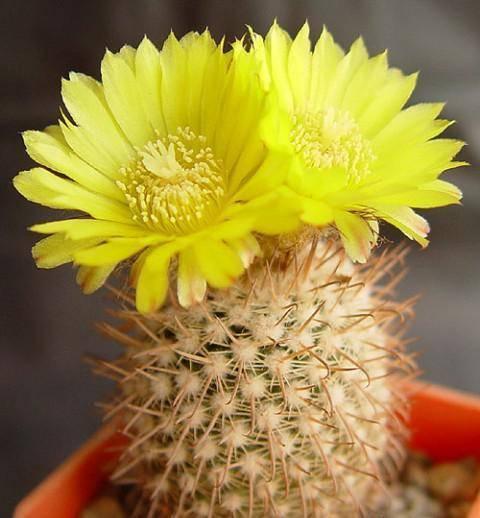 Правильный полив и уход за кактусами в домашних условиях