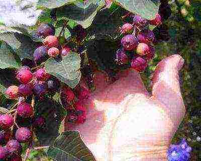 Описание и разновидности ягоды ирги